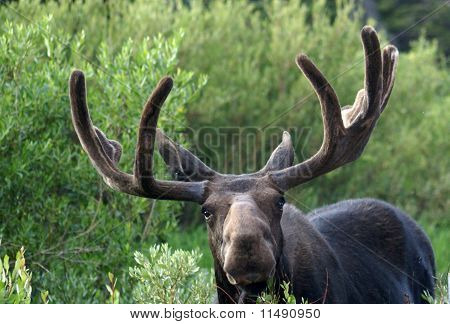 Bull Moose Looking at You