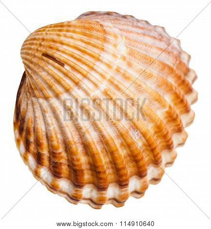Bivalvia Mollusk Shell Isolated On White