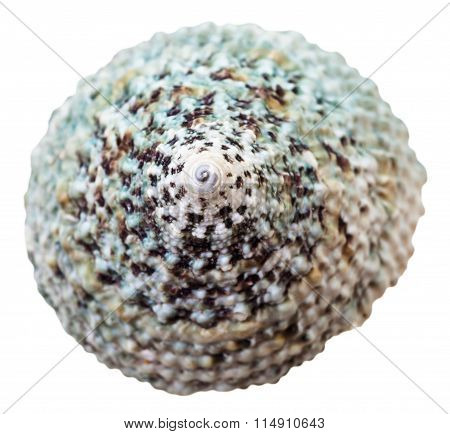 Green Spiral Shell Of Sea Mollusc Snail Isolated