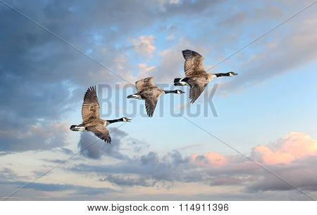 Canade Geese Flying into a sunset sky