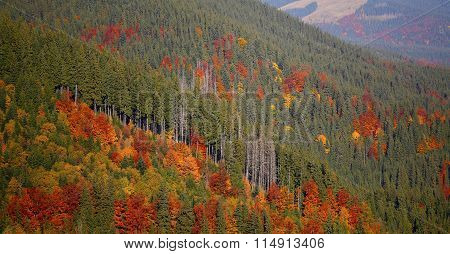 Autumn Coniferous Forest. Mountains