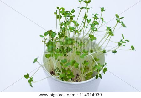 Sprouted mustard seeds in a plastic cup. Kitchen garden. Isolated nature object.