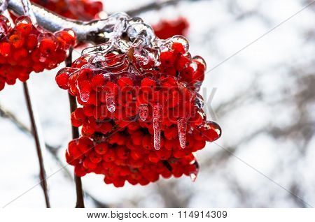 Icicles On Mountain Ash