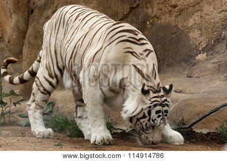 White Tiger ( Panthera Tigris)