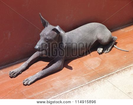 Black Hairless Peruvian Dog Lying By A Wall