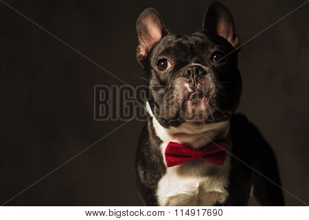 elegant french bulldog puppy dog wearing red bow tie posing for the camera in studio