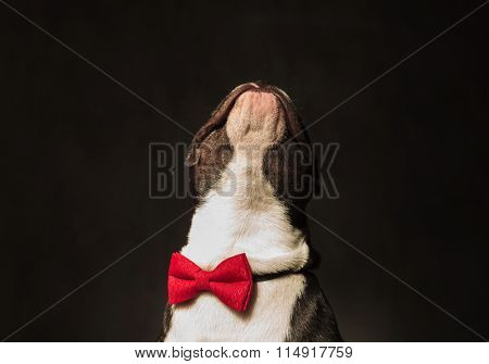 head of a french bulldog puppy dog looking up, wearing bow tie in studio