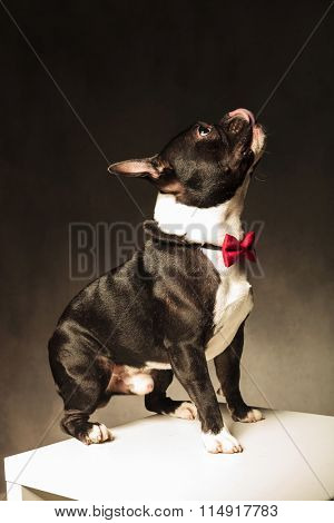 side view of an adorable french bulldog puppy dog licking his nose and looking very curious in studio, wearing a bow tie