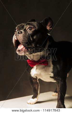 amazed french bulldog puppy dog wearing bowtie in studio, with mouth open and tongue exposed