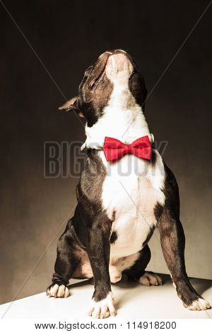 seated french bulldog puppy dog wearing bow tie is looking up to something  in studio