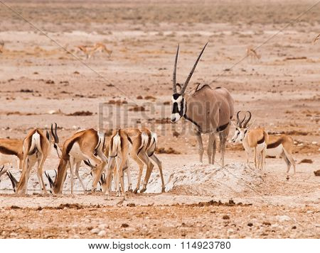 Gemsbok Oryx and herd of impalas at waterhole