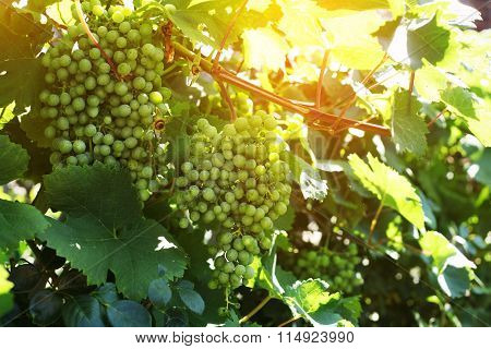 Grape Clusters In Summer