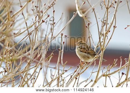 A small female House Sparrow (Passer domesticus) perching on branches during winter in Europe