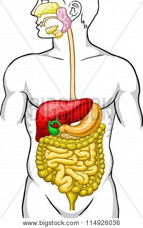 digestive system