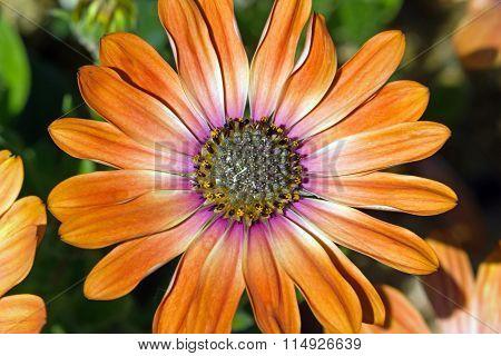 a yellowish orange dahlia