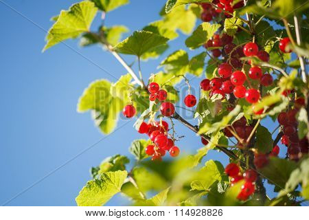 Red Currants In The Garden On Blue Sky Backgraund.