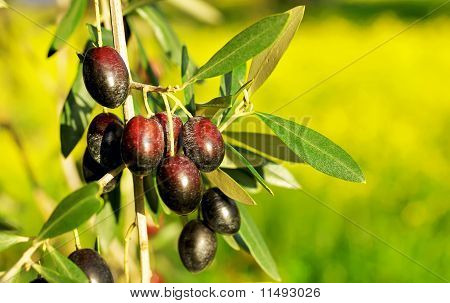 Olives Hanging In Branch .