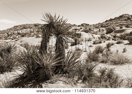 Yucca Plant In Desert at Joshua Tree National Park