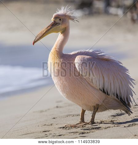 Pelican Close Up Portrait On The Beach In Cyprus.