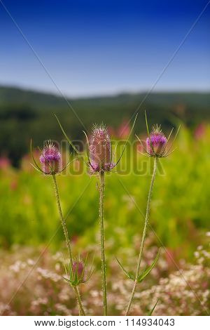 Milk Thistle. Flowerhead. Flowering Plant