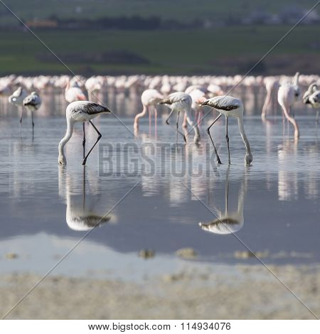 Pink And Grey Flamingos At The Salt Lake Of Larnaca, Cyprus