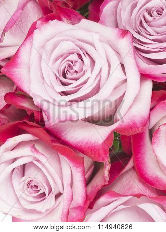 Beautiful Flowers Of Pink Roses