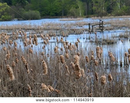 Pond Overgrown Reed