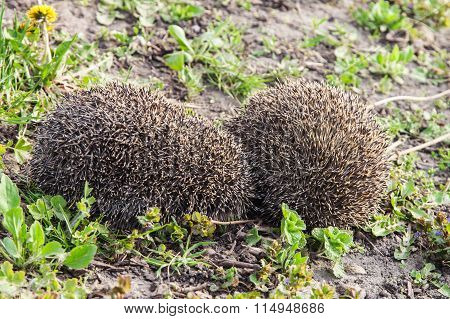 Couple Hedgehogs Mating