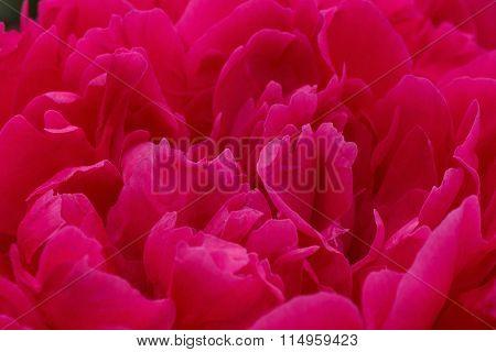 Red Peony Flower