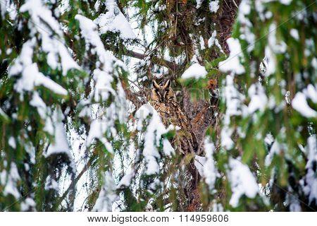 long-eared owl in the tree