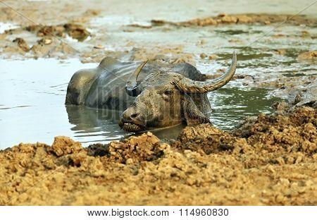 Buffalo In The Wild