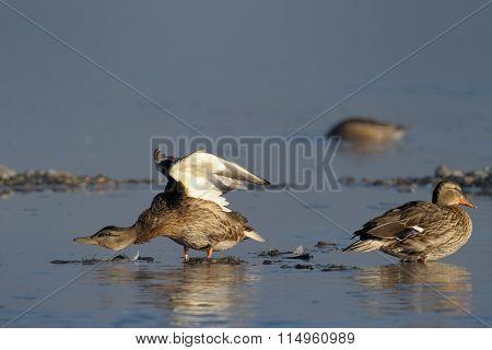Mallard Duck females