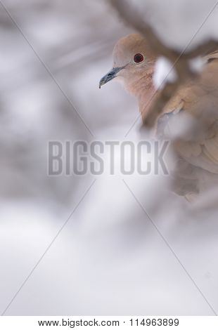 Eurasian Collared-Dove in winter time