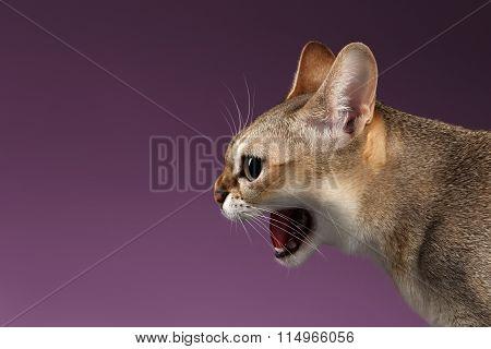 Closeup Aggressive Singapura Cat Hisses Profile View On Purple