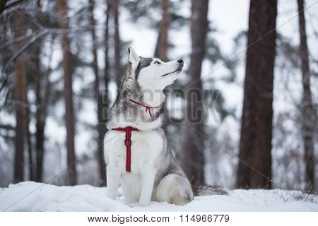 Siberian Husky Is Smelling Winter Air.