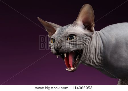 Close-up Aggressive Sphynx Cat Hisses On Purple