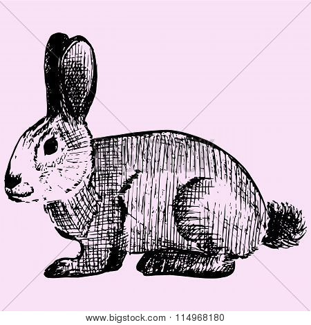 Cottontail, rabbit