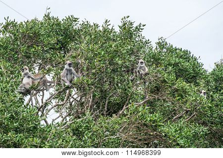 Tufted Grey Langurs In Yala, Sri Lanka