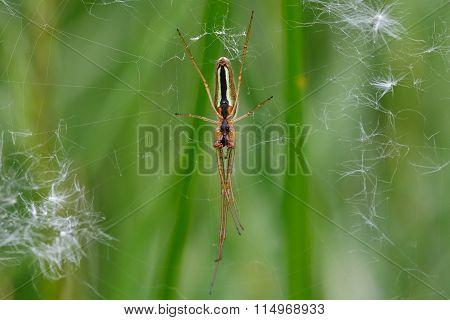 Spider Tetragnatha extensa on web, showing underside