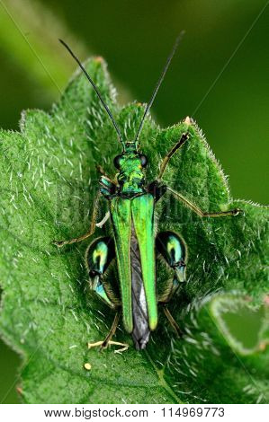 Swollen-thighed beetle (Oedemera nobilis) from above