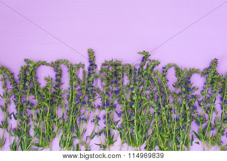 Hyssop herb with flowers