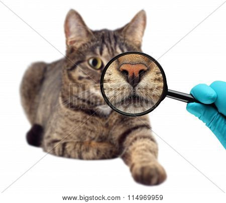 Cat and magnifying glass. Veterinarian doctor making check-up of a cat.