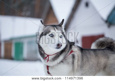 Siberian Husky Looks Around.