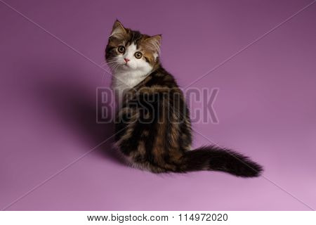 Cute Scottish Straight Kitten Sits Nd Looking Back On Purple