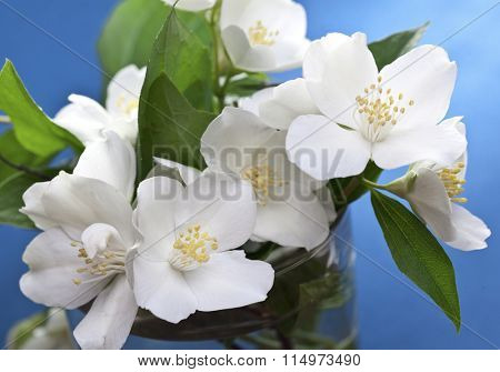Jasmine flowers with leaves over blue background.