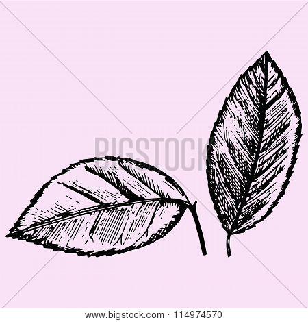 set of citrus leaves