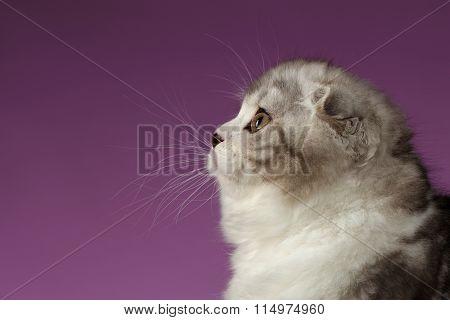 Closeup Portrait Of White Scottish Fold Kitten Profile View