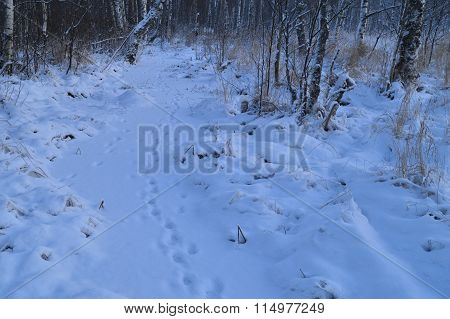 Nature Winter Forest Animal Tracks In The Fresh Snow White