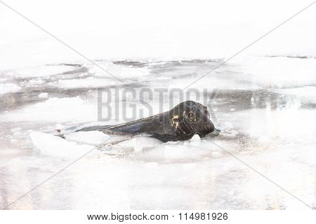 Grey seal in ica-hole