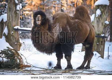 Camel in winter